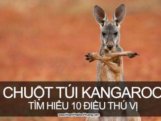 Tìm hiểu 10 điều thú vị về chuột túi Kangaroo, Úc | Khám Phá Bốn Phương