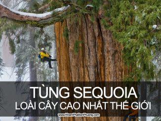 Khám phá tùng sequoia - loài cây cao nhất thế giới | Khám Phá Bốn Phương