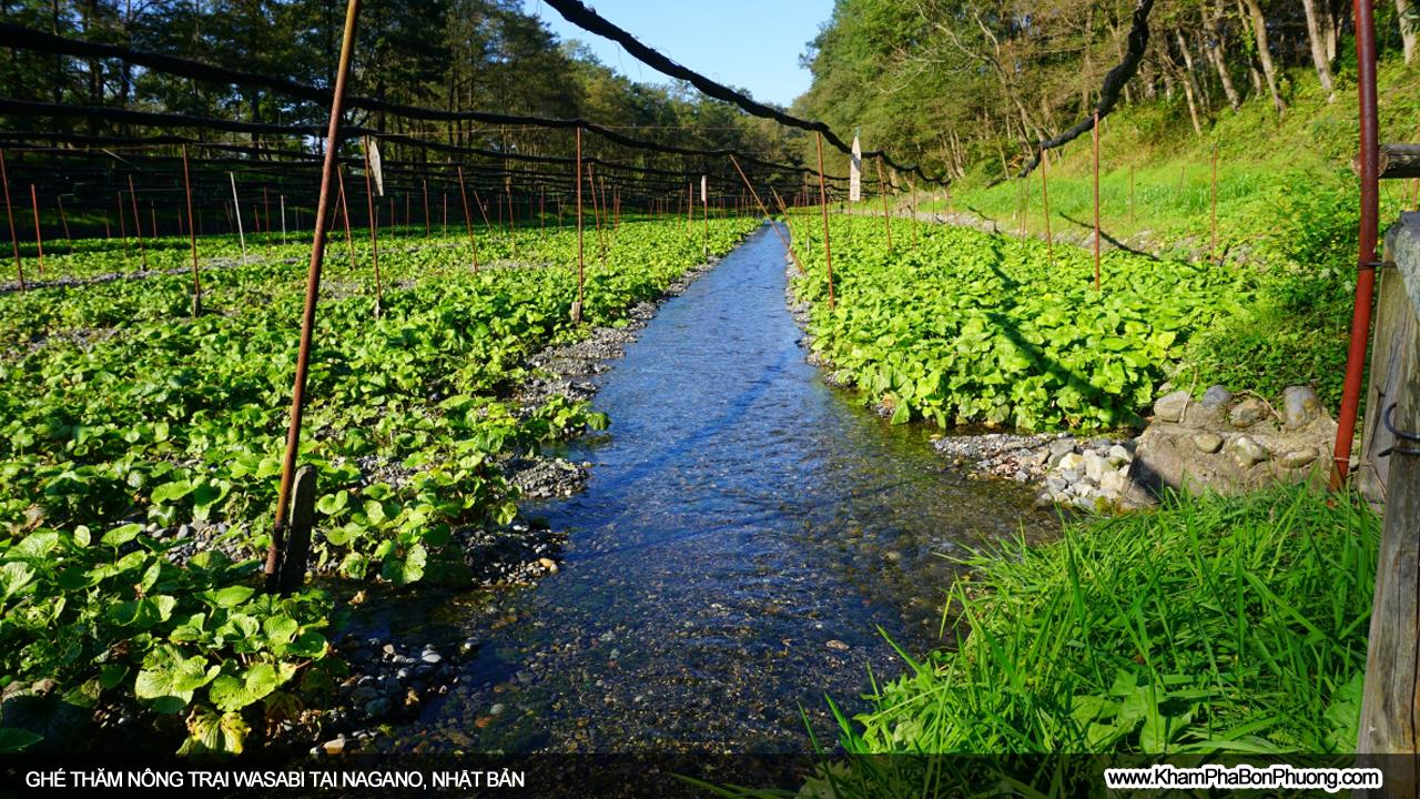 Ghé thăm nông trại wasabi lớn nhất Nhật Bản | Khám Phá Bốn Phương