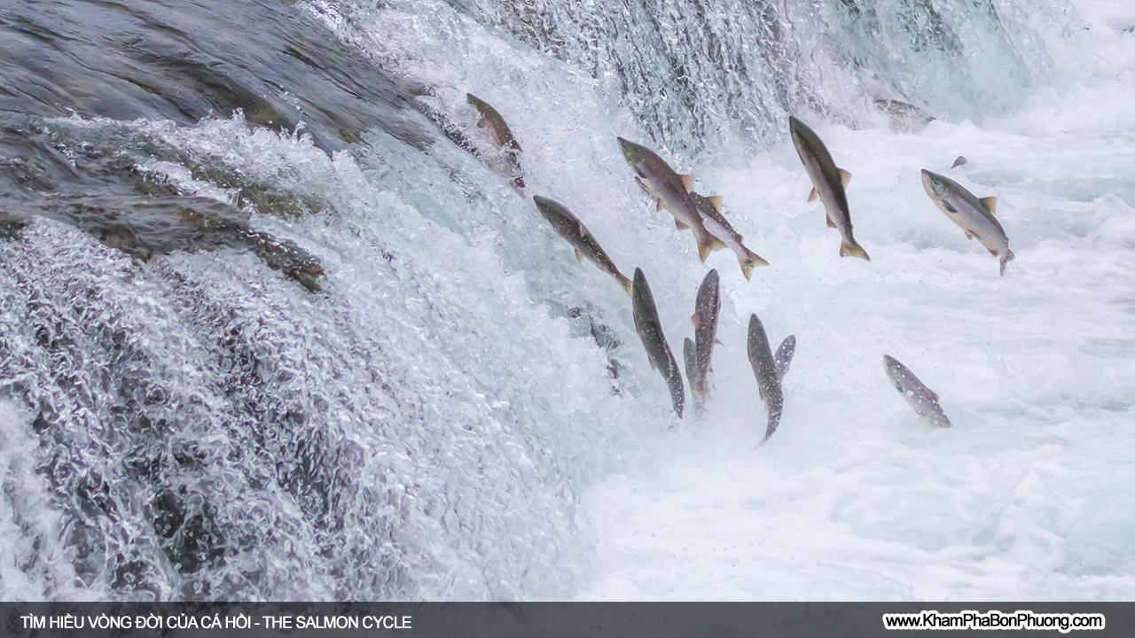 Vòng đời kỳ diệu của loài cá hồi | Khám Phá Bốn Phương